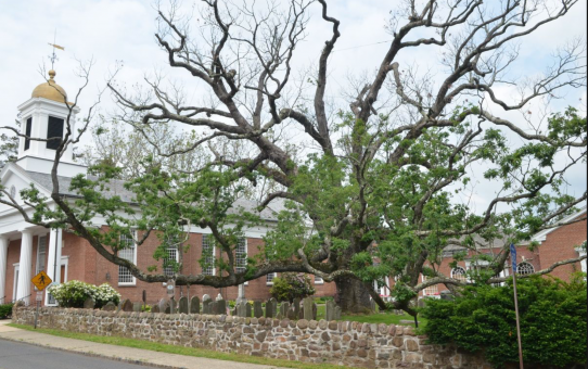 A 600-year old Oak in New Jersey